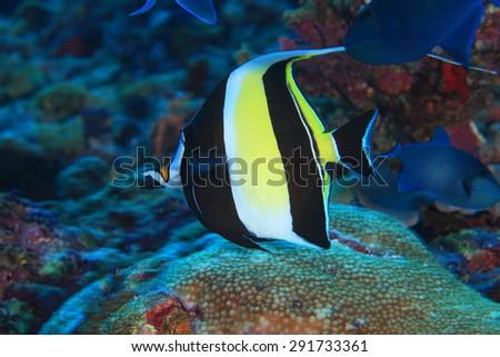 Moorish idol (Zanclus cornutus) in the tropical waters of the indian ocean  - stock photo