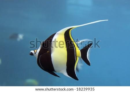 Moorish Idol (Zanclus cornutus) the type of fish known as Gill in Finding Nemo. - stock photo