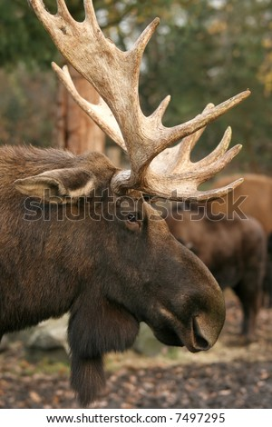 Moose - stock photo