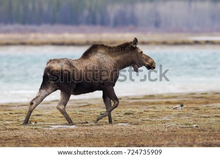 Moose Alces alces on river side meadow in Tagish, Yukon, Canada