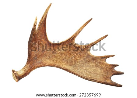 Moose antler isolated on white - stock photo