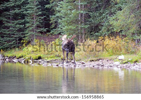 Moose, Bull Male by Water with Antler Rack - stock photo