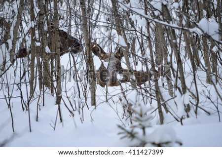 moose calf and mother in the background resting in snowy forest - stock photo