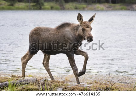 Moose calf walking along the river