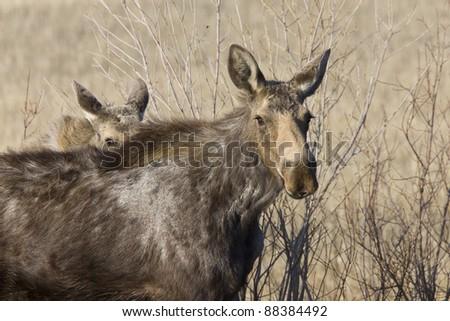 Moose Cow and Calf Saskatchewan Canada - stock photo