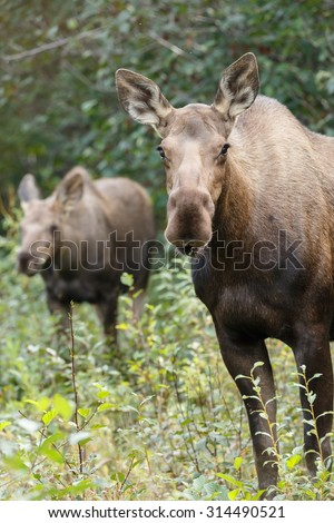 Moose female and her calf at Denali park - stock photo