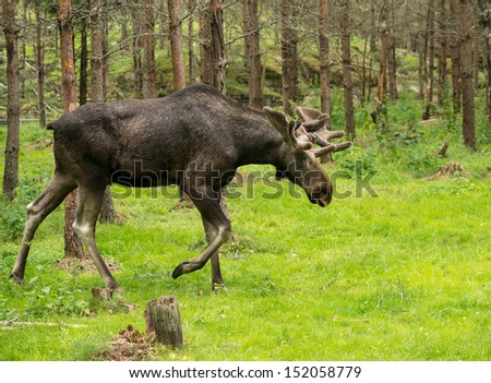 Moose in the swedish woods - stock photo