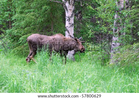 Moose in Woods near Eagle River, Alaska - stock photo