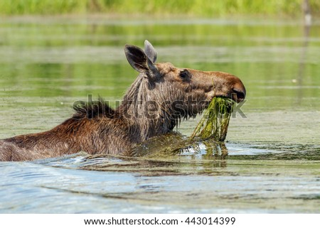 Moose is bathed in the pond