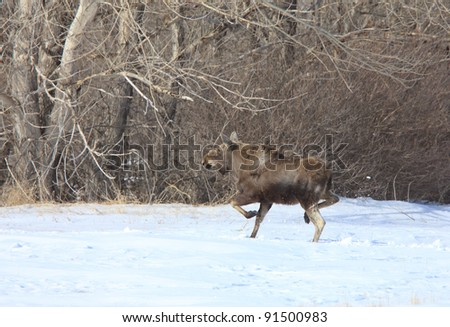 Moose on the run in Winter
