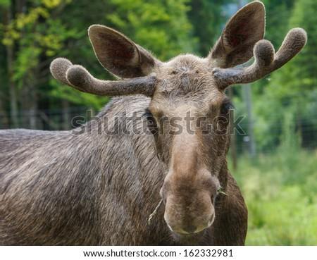 Moose portrait - stock photo