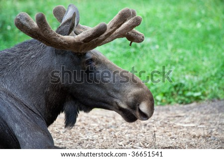 Moose profile with antlers  at Skansen, Stockholm, Sweden
