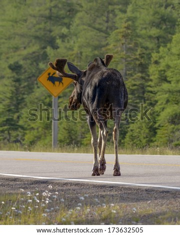 moose reads sign - stock photo