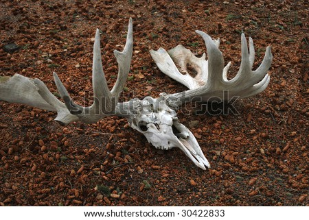 Moose Skull with Antlers
