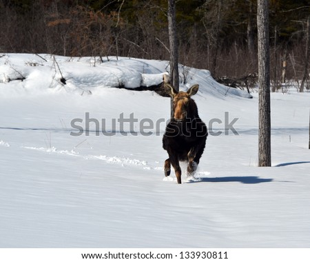 Moose trying to run in  snow - stock photo