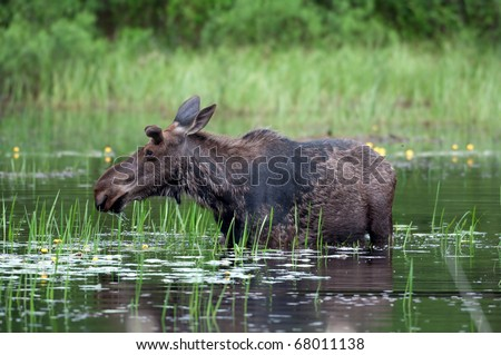 Moose wading through a pond in Algonquin Provincial Park - stock photo