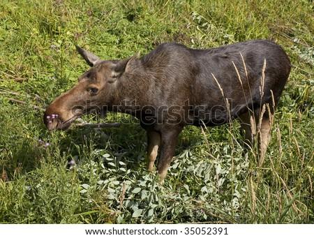 stock-photo-moose-walking-in-a-field-350