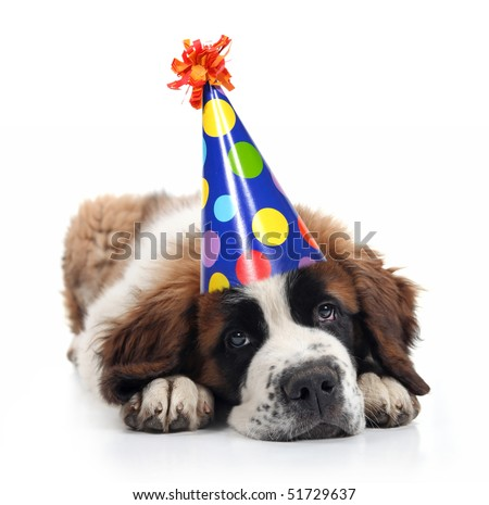 Mopey Saint Bernard Wearing a Polka Dot Birthday Silly Hat on White - stock photo