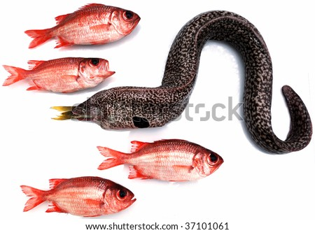 Moray eel eating small fish and red tropical fishes - stock photo