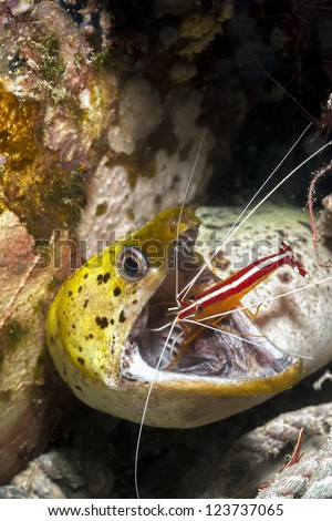 Moray Eel getting it's mouth cleaned by a cleaner shrimp on a coral reef underwater - stock photo