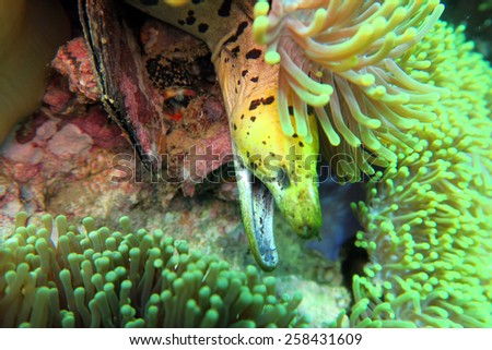 moray eel - scuba diving the coral reef in the south of Thailand - stock photo