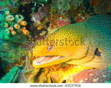 Moray eel showing teeth while getting cleaned by cleaner shrimp in deep blue waters of Andaman Sea in Phuket, Thailand