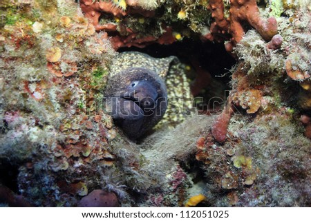 Moray (Muraena Helena) in its hole. Shot in the wild. - stock photo