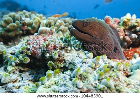 Moray on the reef of lagoon in idian ocean. Picture take in Ari atoll - Maldives. - stock photo