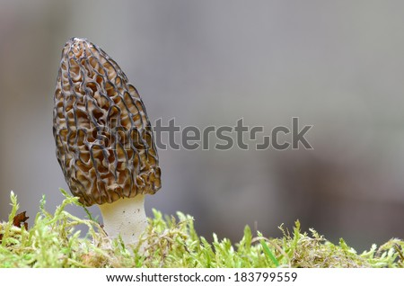 Morchella Conica or Black Morel Mushroom in a moss, against gray bokeh background - stock photo