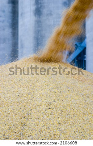 More corn being piled up - stock photo