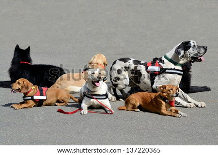 More therapy dog resting on asphalt - stock photo
