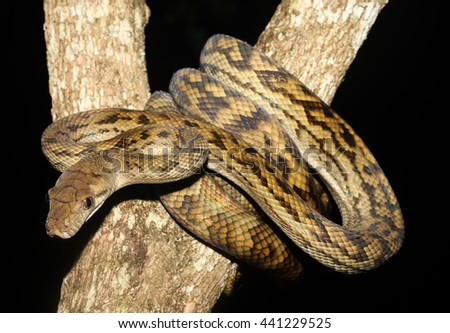 Morelia kinghorni is a species of snakes of the family Pythonidae. - stock photo