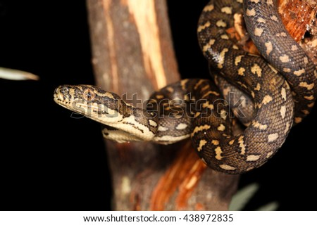 Morelia spilota, commonly referred to as carpet python and diamond pythons, is a large snake of the family Pythonidae found in Australia, New Guinea, and the northern Solomon Islands. - stock photo