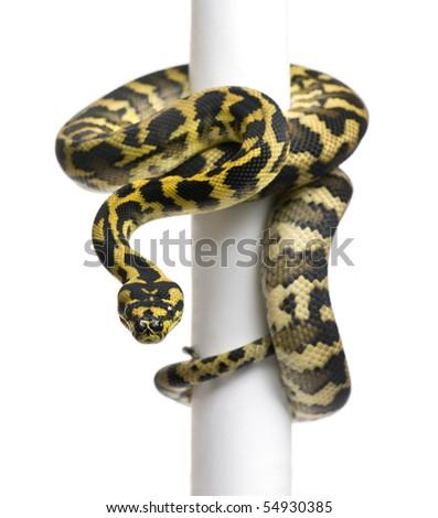 Morelia spilota variegata python, 1 year old, on pole in front of white background - stock photo