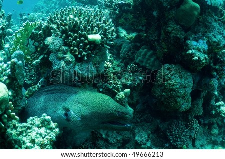 Morey eel in coral reef. wildlife in Red sea.