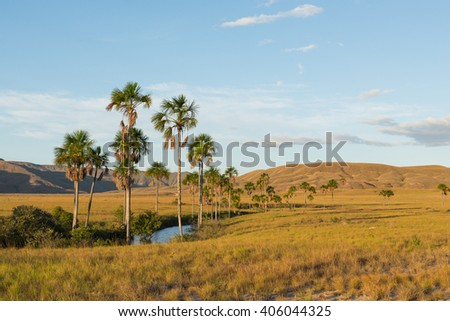 Moriche palm trees (Mauritia flexuosa) at Arabopo valley in Bolivar state, Venezuela