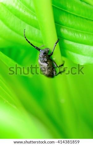 Morimus funereus is a species of beetle in family Cerambycidae. It is found in Belgium, Croatia, Slovenia, the Czech Republic, Germany, Hungary, Moldova, Romania, Bulgaria, Serbia, Montenegro. - stock photo
