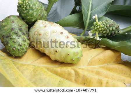 Morinda citrifolia, in English is great morinda, Indian mulberry, beach mulberry, Tahitian noni, ( Hawaiian ) nono (Tahiti) meng kudu ( Malay ) nonu. ( the Tonka ) and ach ( Hindi ).  - stock photo