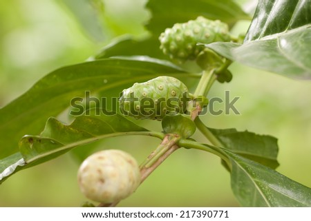 Morinda citrifolia in garden - stock photo