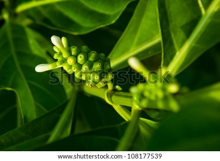 Morinda is a genus of flowering plants in the madder family