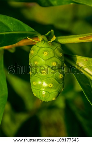Morinda is a genus of flowering plants in the madder family - stock photo