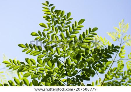 moringa leaves  - stock photo