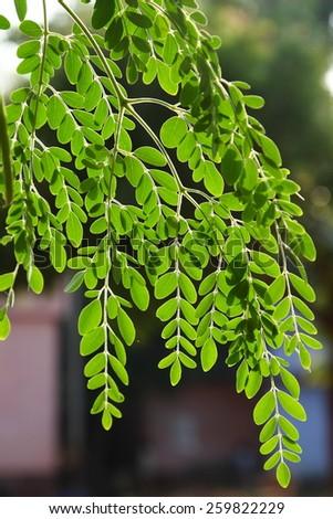 Moringa oleifera, (the tree of life)..leaves in back light. - stock photo
