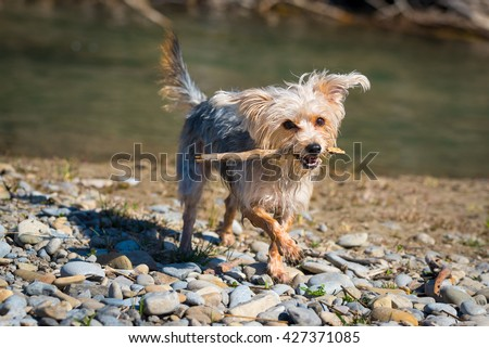 Morkie dog playing with a stick on a river beach - stock photo