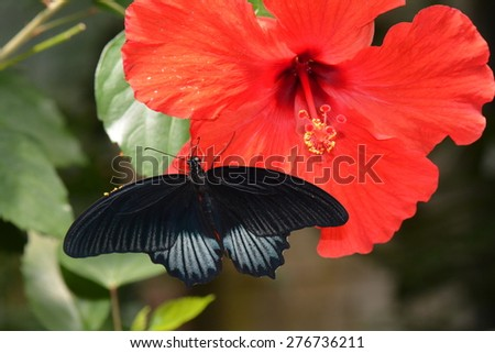 Mormon butterfly lands on a red hibiscus bloom in the gardens. - stock photo