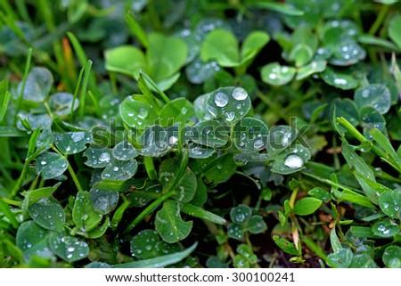 Morning Dew lying on lush green grass - stock photo