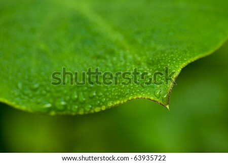 Morning dew on a green leaf - stock photo