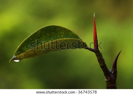 Morning dew on rubber - stock photo
