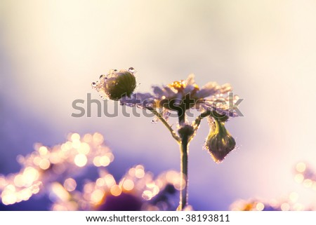 morning dew on the petals of camomile - stock photo