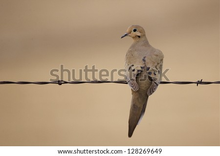 Morning Dove perched on barb wire fence with natural brown background zenaida macroura, dove hunting wing shooting migratory bird species migrate migration - stock photo